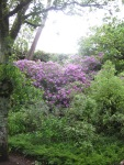 Rhododendrons in Branksome Chine Gardens